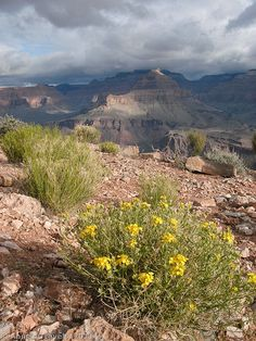 Flowers at Skeleton Point along the South Kaibab Trail, Grand Canyon National Park, Arizona