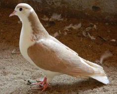 World of Pigeons and Doves: Sherajee / Lahore pigeon Lahore Pigeon, Cute Pigeon, Pigeon Breeds, Mourning Dove, Bird Aviary, In This House We, Loft Design, Cousins, Dream Life