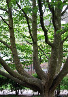 Handkerchief tree Davidia involucrata Parliament Hill