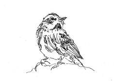 warbler - ink drawing, tracy jager
