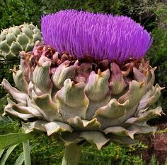 """""""The earth has music for those who listen."""" George Santayana  Pictured is a globe artichoke (Cynara scolymus)."""