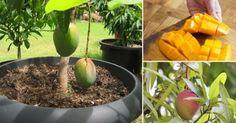 Cómo+cultivar+mango+en+macetas