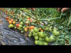 Tehnica prăbușirii plantelor la roșii, creșterea producției cu peste 50% - YouTube Videos, Solar, Avocado, Planting, Gardening, Vegetables, Food, Youtube, Nature