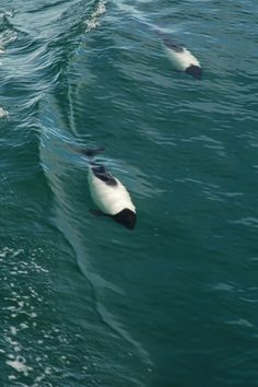 Commerson´s dolphins, Magellan Straits (by Niall Corbet)