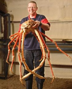 The Japanese spider crab (Macrocheira kaempferi) is a marine crab that lives in waters @ Japan. It has the largest leg span (up to 12') of any arthropod & weighs up to 42 lbs. Adults live at depths of 500-2,000 ft. They like to inhabit vents in deeper parts of the ocean, consuming both plants & animals. Adults migrate up to @ 160 ft to breed. Females carry fertilized eggs attached to abdominal appendages till they hatch into tiny planktonic larvae & drift as plankton at the ocean's surface.