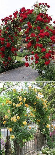 Садовые арки из роз - Садоводка