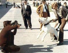 white Neapolitan Mastiff