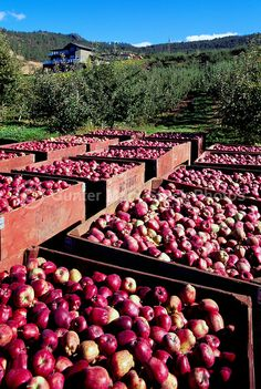 Harvested Red Spartan Apples packed in Crates in Orchard, South Okanagan Valley, BC, British Columbia