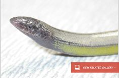 New Species of Legless Lizard Found at LAX : Discovery News