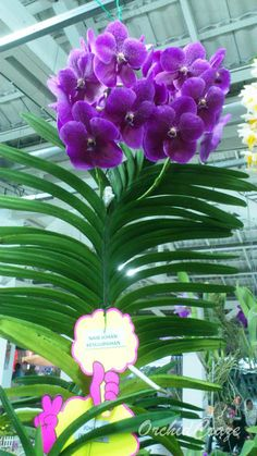 OrchidCraze: November 2011. Second place,  Vanda Roberts Delight