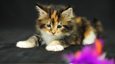 Sad Maine Coon Kitten Wallpaper HD | HD Wallpapers and Backgrounds