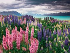 Lupins - Lake Tekapo by Todd & Sarah Sisson.     Thanks for viewing :)    Visit us online at www.sisson.co.nz/shop/shop-by-product/canvas-prints.html    Cheers - Todd & Sarah Sisson