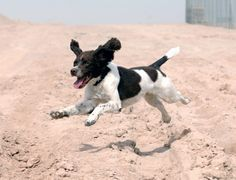 File:'Harvey' the Springer Spaniel is an Arms Explosive Search ...