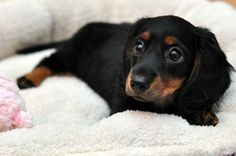 Meet my Daschund puppy - Neville Longbottom (Get it? He has a LONG bottom? My daughter is clever! Dachshund Funny, Dachshund Breed, Long Haired Dachshund, Dachshund Love, Black Dachshund, Cute Puppies, Cute Dogs, Dogs And Puppies, Dogs 101