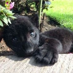 23 ideas for baby black panther cubs animals Baby Panther, Panther Cub, Cute Baby Animals, Animals And Pets, Wild Animals, Beautiful Cats, Animals Beautiful, Big Cats, Cute Cats