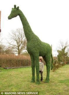 Giraffe topiary by Topiary Designs in Suffolk, England.  Some of the bigger works can take up to three years to complete.  Steve and Jackie Manning work as a team to create the topiary animals.    - photo by Masons News Service