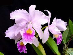 Colombia Sin Palabras: Flor Nacional de Colombia (Orquídea)