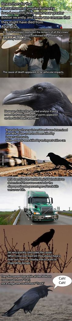 Death of hundreds of crows finally solved