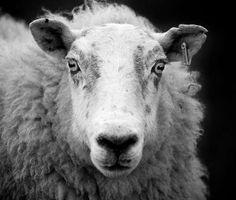 File:Ewe sheep black and white. Ewe Sheep, Sheep Art, Farm Animals, Cute Animals, Black Sheep Of The Family, White Cow, The Shepherd, Black And White Pictures, Livestock