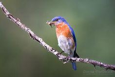 Eastern Bluebird, Elk Island, Alberta