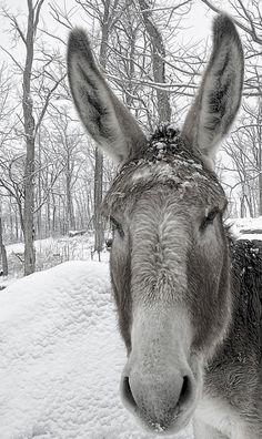 I a mule, no I'm a donkey, no I'm....