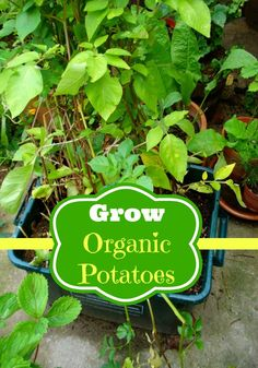 How to Grow Organic Potatoes by two little cavaliers