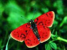 watermellon butterfly