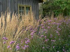 I favorite of mine in the garden. Verbena bonariensis Today at the Farm - Perennials Forum - GardenWeb