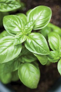 Want to learn how to plant basil? Check out these basic growing basil tips to ensure your plant will flourish indoors and out.