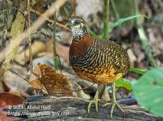 Arborophila graydoni, which is also known as Sabah Partridge. Photo by Subki Abdul Hadi. #Birds