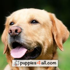 Do not buy unless widened obedience training labrador retriever Perro Labrador Retriever, Golden Retriever, Fox Terriers, Pet Dogs, Dogs And Puppies, Dog Body Language, Rottweiler, Cockerspaniel, Shih Tzu