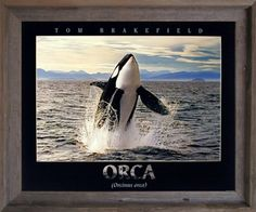 Breaching Orca Whale Ocean Animal Nature Wall Picture Barnwood Framed Art Print (19x23) Impact Posters Gallery http://www.amazon.com/dp/B00HA7S9XQ/ref=cm_sw_r_pi_dp_FkeAvb1AACCX1