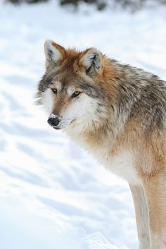 Wolf by Mark Dumont