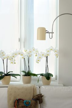 Orchid #Window #White #Phalaenopsis