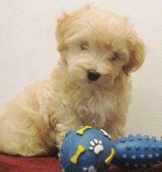 Malti-Poo Designer Dogs