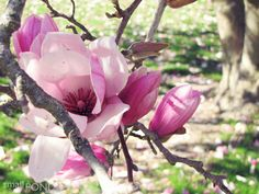 Beautiful scents and colors of Japanese Magnolia are early Spring teasers >> Do you know where this tree is?