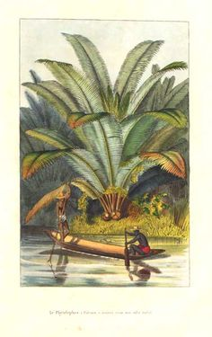 Arecaceae - Phytelephas macrocarpa From: Flore des serres et des jardins de l'Europe by Charles Lemaire and others.