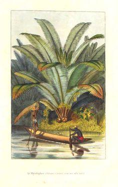 Arecaceae - Phytelephas macrocarpa From: Flore des serres et des jardins de l'Europe by Charles Lemaire and others.