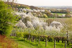 Flowering spring, a wonderful time in South Limburg, The Netherlands.