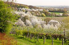 Fruitbomen rond het Savelsbos