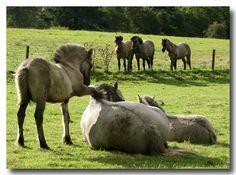 highland pony | Aw,come on,Mom,I'm HUNGRY! Highland Pony, Pony Breeds, Miniature Horses, Clydesdale, Donkeys, Zebras, Aurora Borealis, Beautiful Horses, Tack