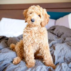 How can you resist? #labradoodle #cutedog #puppytime