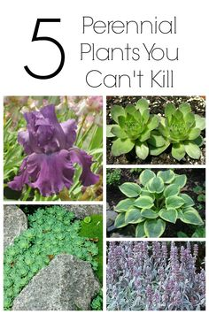 Working on your garden? Here are 5 perennial plants that you can't kill. Bonus, all are hardy in Zone 3. Frost resistant and long living!