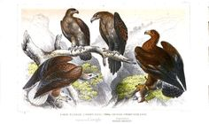 Great eagle, golden eagle, small cape eagle, wedge-tailed eagle. A History of the Earth and Animated Nature, Vol. 2, by Oliver Goldsmith