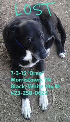 "#LOSTdog 7-3-15 ""Oreo"" #Morristown #TN Black/White 14y M 423-258-0622 https://www.facebook.com/LostandFoundPets.TriCitiesTN/posts/977005668988368:0"