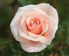 """Floribunda Roses """"Pretty Lady""""® - Creamy white with a tinge of pink flowers have a slight fragrance and form clusters of classicly formed blossoms (petals on a medium continually blooming floribunda bush. Special Flowers, All Flowers, Pretty Flowers, Rose Wedding Bouquet, White Wedding Bouquets, Floribunda Roses, Heirloom Roses, Sweet Violets, Growing Roses"""