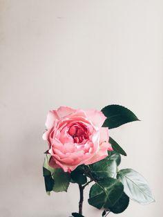 #роза