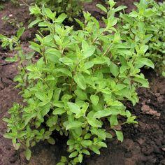 Korn, Pesto, Food And Drink, Herbs, Gardening, Garten, Herb, Lawn And Garden, Garden