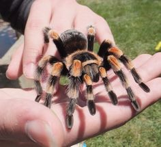 Most up-to-date Photos tarantula aranha Ideas Acceptable, so it's well known lions receive poor press. Your marketing is usually painting them bots outside to get Tarantula Enclosure, Pet Tarantula, Mexican Red Knee, Spiders And Snakes, Reptiles And Amphibians, Exotic Pets, My Animal, Spirit Animal, Beautiful Creatures