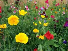 Late Summer & Early Autumn Sowing Of Hardy Annual Flower Seeds. | Higgledy Garden
